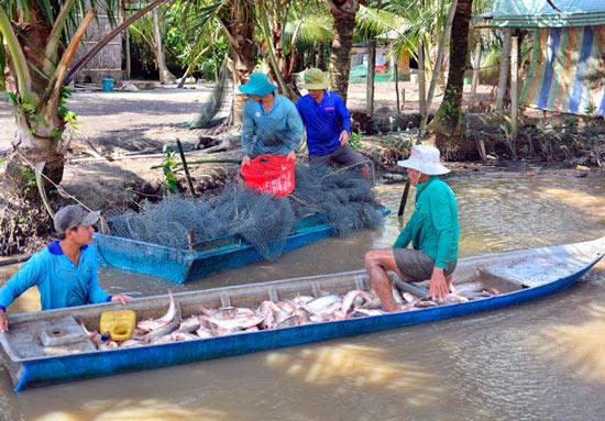 Kiên Giang: Thả cá ăn gốc rạ, trứng ốc ruộng, nhà nông trúng đậm - 1
