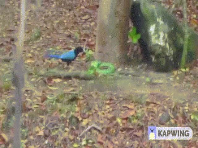Video: Rắn kịch độc bị chim dùng tuyệt kỹ đánh cho thê thảm đến chết