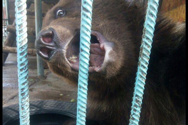 Nga: Đang cho gấu ăn, không ngờ bị lôi vào chuồng cắn đứt lìa cánh tay - 1