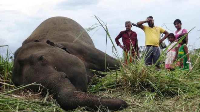 Sri Lanka: Hàng loạt voi bỗng lăn ra chết - 1