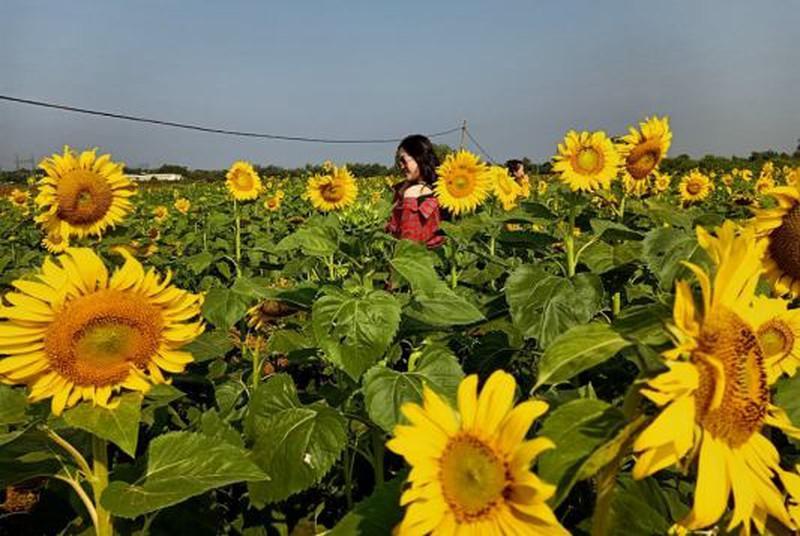Đắk Lắk: Giới trẻ thích thú với cánh đồng hoa hướng dương giữa TP. Buôn Ma Thuột - 1