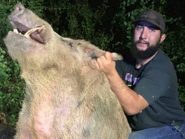 Săn được lợn rừng khổng lồ ở nơi không ai ngờ tới