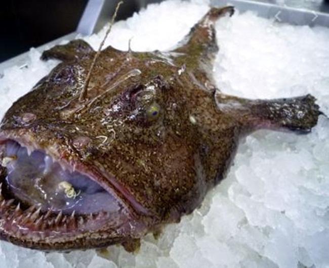 Cá ankou có kích thước khá lớn, xấu nhưng là loại cá được đánh giá ngon.