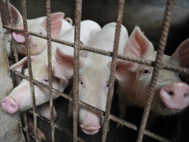 Nóng tuần qua: Giá lợn hơi bước vào giai đoạn tăng mạnh?