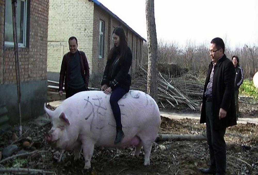"""Thiếu thịt lợn, Trung Quốc """"sinh ra"""" giống lợn khổng lồ to như gấu Bắc cực - 1"""