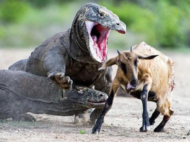 Rồng Komodo thể hiện sức mạnh đáng sợ xứng danh quái vật