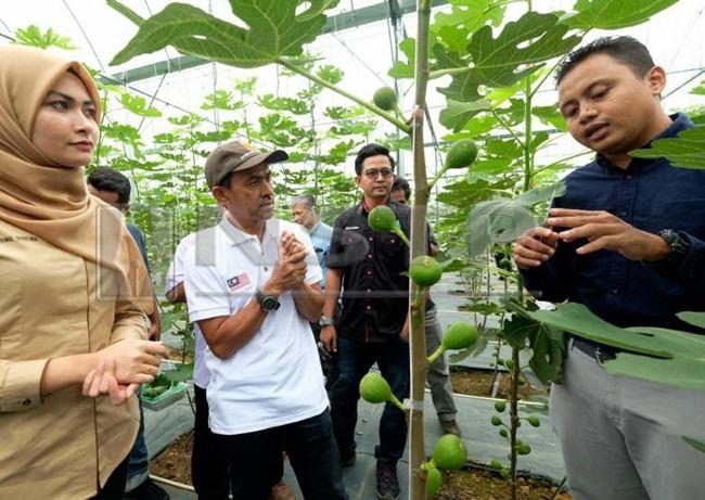 Lúc quay về Malaysia hồi năm 2017, anh trồng vài cây và thấy nó có thể sinh trưởng tốtở Malaysia.