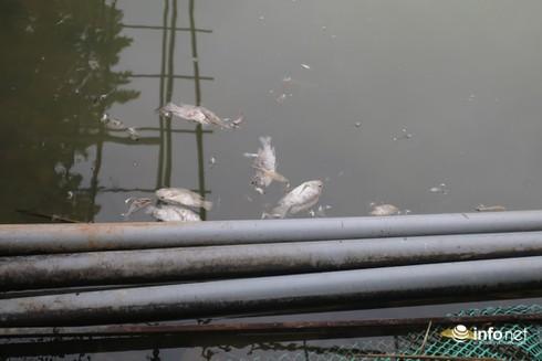 Khu vực Nhà máy nước sông Đà: Gần 1 tấn cá chết do nhiễm dầu thải - 1