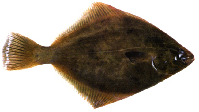Trong số các loại hải sản nhập khẩu, cá bơn New Zealand được nhiều người mua. Mức giá bán ở Việt Nam khoảng 260.000 đồng/kg.