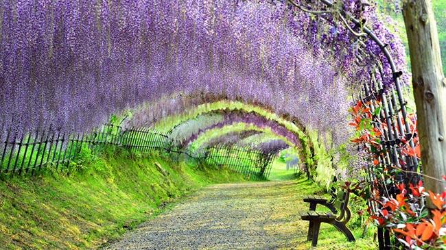 Vườn Kawachi Fuji (Fukuoka): Đến đây du khách tưởng như mình lạc vào một bức tranh sơn dầu. Khu vườn trưng bày khoảng 150 cây hoa tử đằngcủa 20 loài khác nhau.