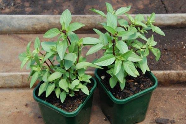 """Top 7 loại cây là """"khắc tinh"""" của kiến ba khoang nên trồng trong nhà - 1"""