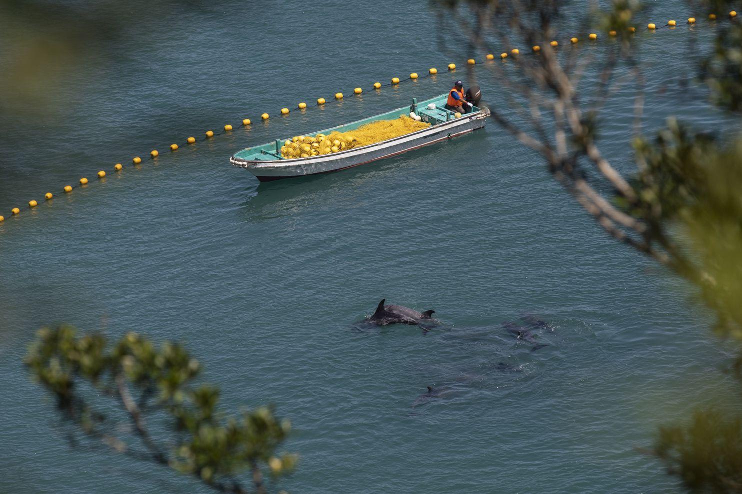 Cá heo Nhật Bản bị bắt hàng loạt để người Trung Quốc mua vui - 1