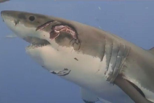 Video: Vết thương kinh hoàng của cá mập trắng do quái vật khổng lồ tấn công - 1