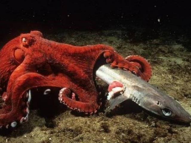 Cá mập săn mồi gặp bạch tuộc khổng lồ và cái kết