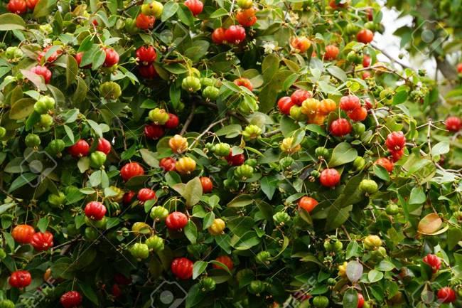 Mỗi quả cherry Surinam có 8 múi và chứa 2-3 hạt. Bên trong có hàm lượng vitamin A, C cao.