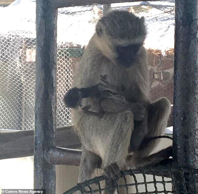 Video: Đau xót cảnh khỉ mẹ mang xác con chết khô không rời suốt 10 ngày - 1
