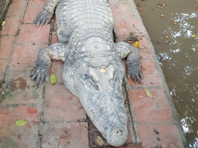 """""""Cá sấu chúa"""" nặng hơn 400kg xác lập kỷ lục cá sấu """"khủng"""" nhất Việt Nam"""
