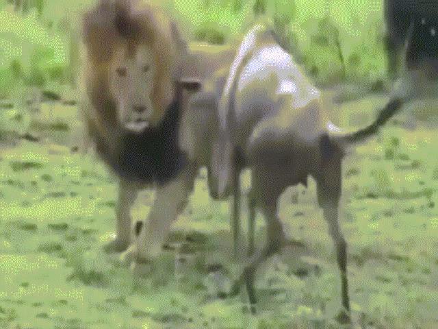 Sư tử né đòn chí mạng của linh dương đầu bò, tung đòn kết liễu con mồi