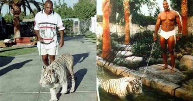 """Mike Tyson nuôi hổ dữ 250 kg: Tiết lộ lý do """"động trời"""" phải đem bán - 1"""