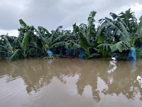 1200ha chuối ngập lụt ở Lào, doanh nghiệp bầu Đức báo lỗ thêm gần 1000 tỷ sau 3 tháng - 3