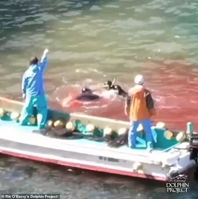 Video: Bầy cá heo bị thảm sát tập thể, máu nhuộm đỏ cả vùng biển ở Nhật - 1