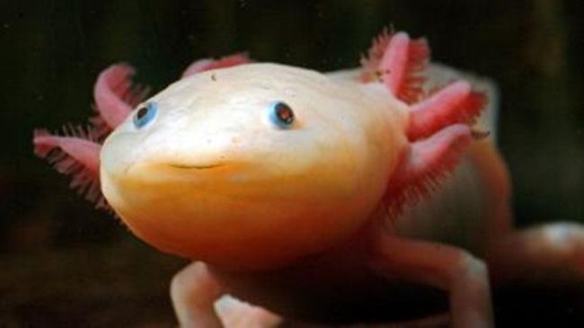 Cách đây mấy năm, dân chơi cá cảnh ở Việt Nam từng phát sốt với loại kỳ giông có tên làAxolotl (Ambystoma mexicanum).