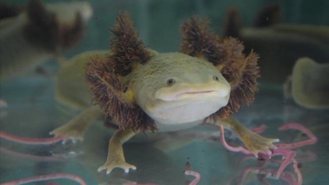 Kỳ giông Axolotl còn được gọi là kì giôngMexico là loài bản địa ởhồ Xochimilco và hồ Chalcot thuộctrung tâm thủ đô Mexico City.