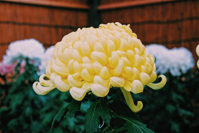 Rủ nhau ngắm hoa anh đào, nhiều người nhầm tưởng về quốc hoa Nhật Bản - 1