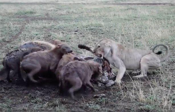 Video: Sư tử cái bị đàn linh cẩu tranh mồi, kẻ thứ ba xuất hiện và chuyển biến bất ngờ - 1