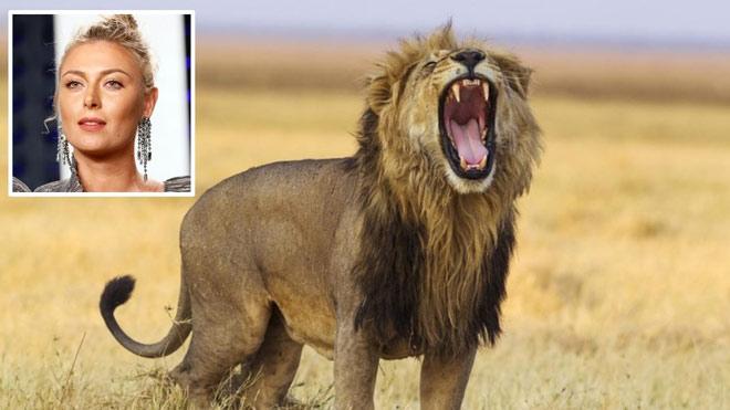 """""""Búp bê Nga"""" Sharapova dấn thân vào hiểm địa chạm trán sư tử tại Nam Phi - 1"""
