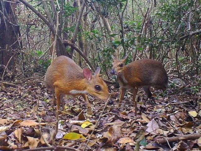 Loài vật tưởng tuyệt chủng cách đây 30 năm bất ngờ tái xuất tại Việt Nam
