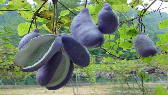 Akebi từng là cây mọc hoang ở vùng Tohoku, Bắc đảo Honshu, Nhật Bản.