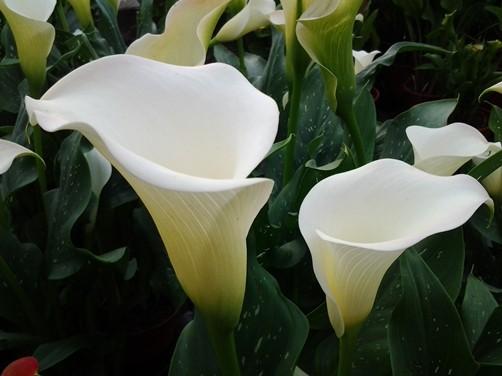 """Những loại hoa đẹp rực rỡ nhưng độc """"chết người"""" - 2"""