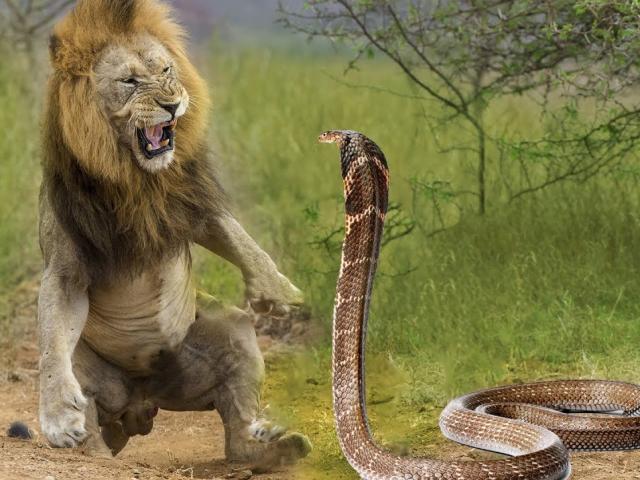 Cú táp kinh hoàng của rắn hổ mang chúa khi đối đầu sư tử