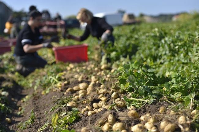 Trong thời gian đó, 2.500 người sẽ thu hoạch khoai tây từ lúc bình minh đến khi mặt trời lặn thật cẩn thận để thu được những củ khoai ngon nhất.