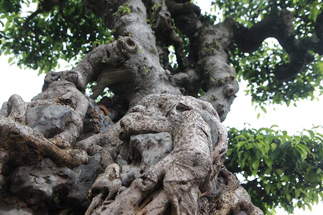 Trước đó cây cũng trải qua 2 đời chủ, cũng là nghệ nhân có tiếng ở Hà Nội, sau gần 9 năm tạo tác cây gần như hoàn chỉnh. Khoảng 2 năm nữa cây đạt đến độ hoàn hảo.