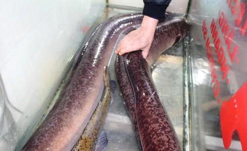 """Ngư dân Nghệ An bắt được 2 con cá lệch """"siêu to khổng lồ"""", dài 1,7m - 1"""
