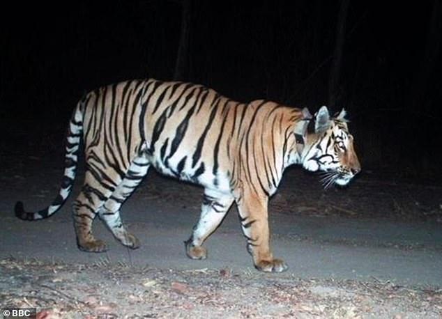 Ấn Độ: Khát tình, hổ đực vượt quãng đường dài chưa từng thấy - 1