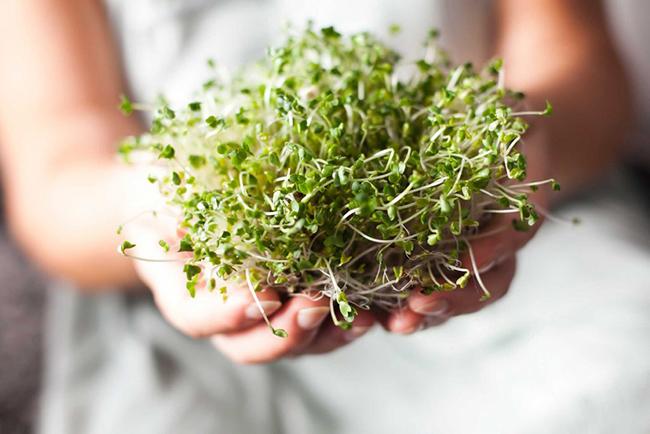 12. Rau mầm rất giàu sulforaphane, một trong những hợp chất chống ung thư mạnh nhất có trong tự nhiên. Rau mầm có thể chứa sulforaphane gấp 50 lần so với lá rau khi trưởng thành.