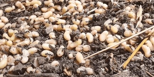Escamoles là ấu trùng của kiếnthuộc loài Liometopum apiculatum Mayr.