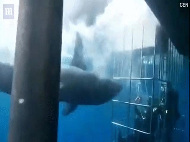 Cá mập lao đầu vào lồng sắt đớp người và cái kết thê thảm