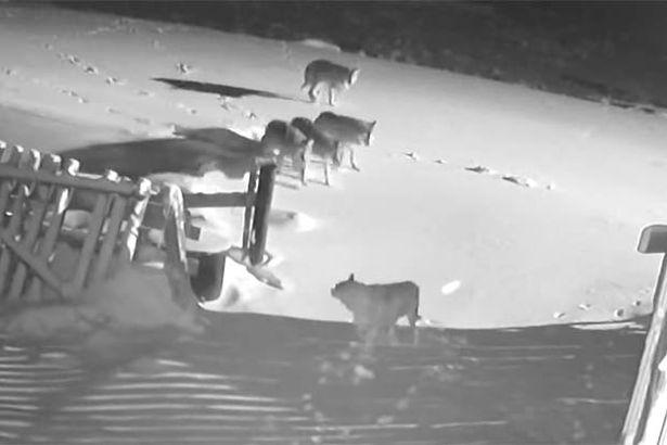 """Video: Thấy bạn bị đàn sói """"hội đồng"""", chó nhà lao đến cứu và kết cục đau lòng - 1"""