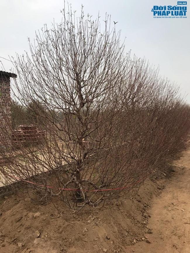 Người trồng đào Nhật Tân đang tất bật tuốt lá đón Tết - 1