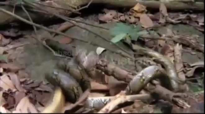Video: Hổ mang chúa gây chiến trăn vua, bị siết nghẹt thở và điều bất ngờ ở phút chót - 1