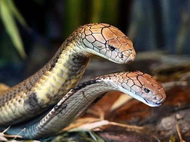 Tìm thấy rắn hổ mang chúa 2 đầu như trong thần thoại