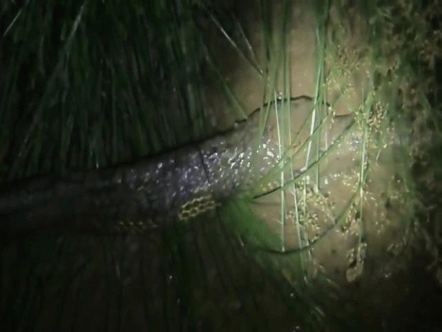 Video: Hổ mang chúa nuốt chửng trăn vua trong đêm