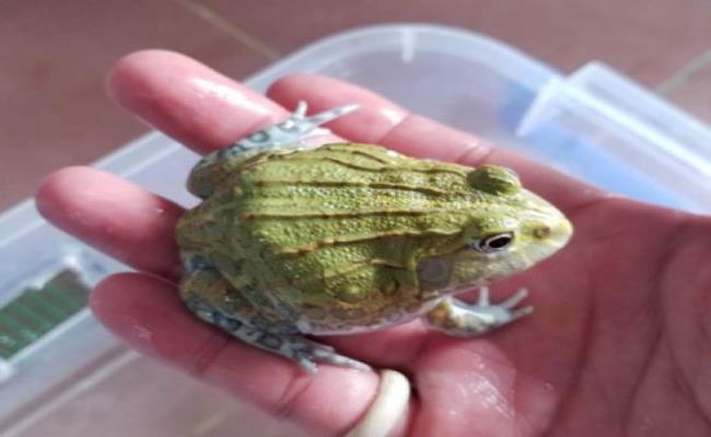 Tuy bé nhỏ nhưng bullfrog lại có giá lên đến 1,5 triệu đồng/con, dù vậy, nhiều người vẫn sẵn sàng bỏ tiền ra mua chúng về làm thú cưng.