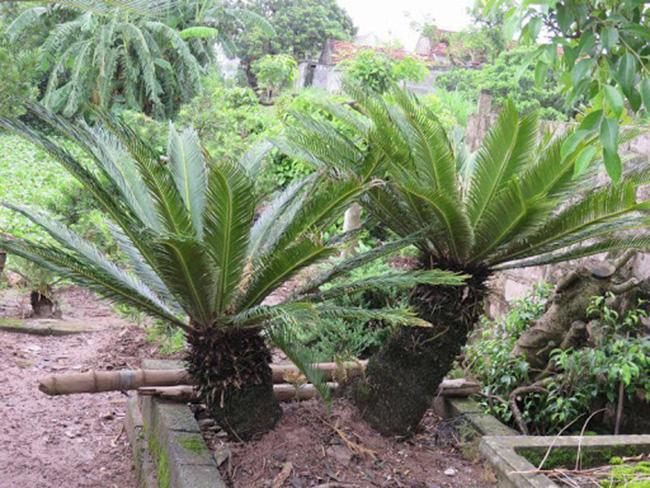 Cây vạn tuế còn gọi là cây thiên tuế, được biết đến là một loài cây cảnh có phần tán lá xoè rộng, thường được trồng để trang trí.