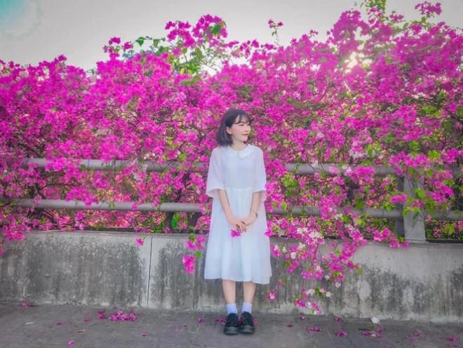 Hà Nội: Cây cầu hoa giấy bất ngờ bung nở trở lại, check-in