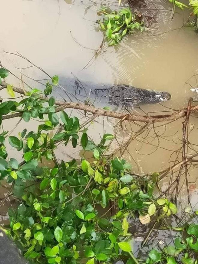"""Clip: Hoảng hốt phát hiện cá sấu to đang """"dạo chơi"""" trên sông - 1"""